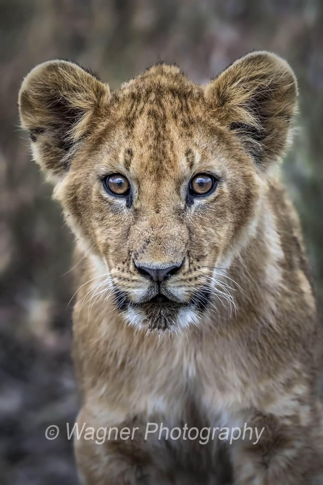 Maasai Lion Cub
