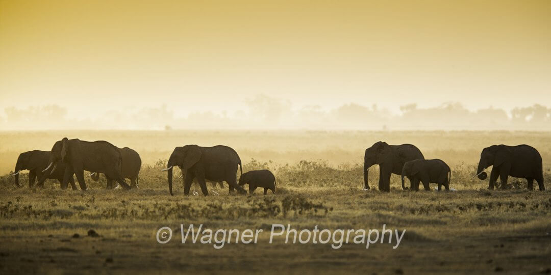late afternoon elephants