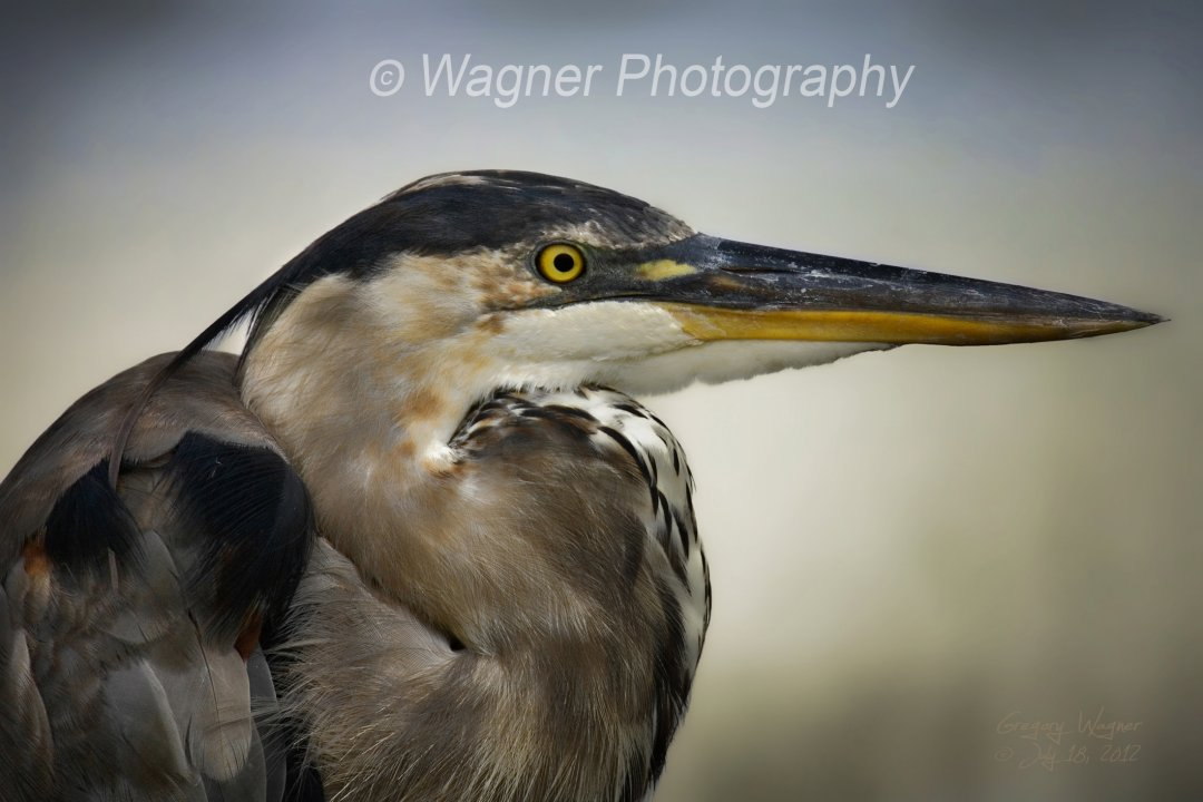 Great Heron Portrait