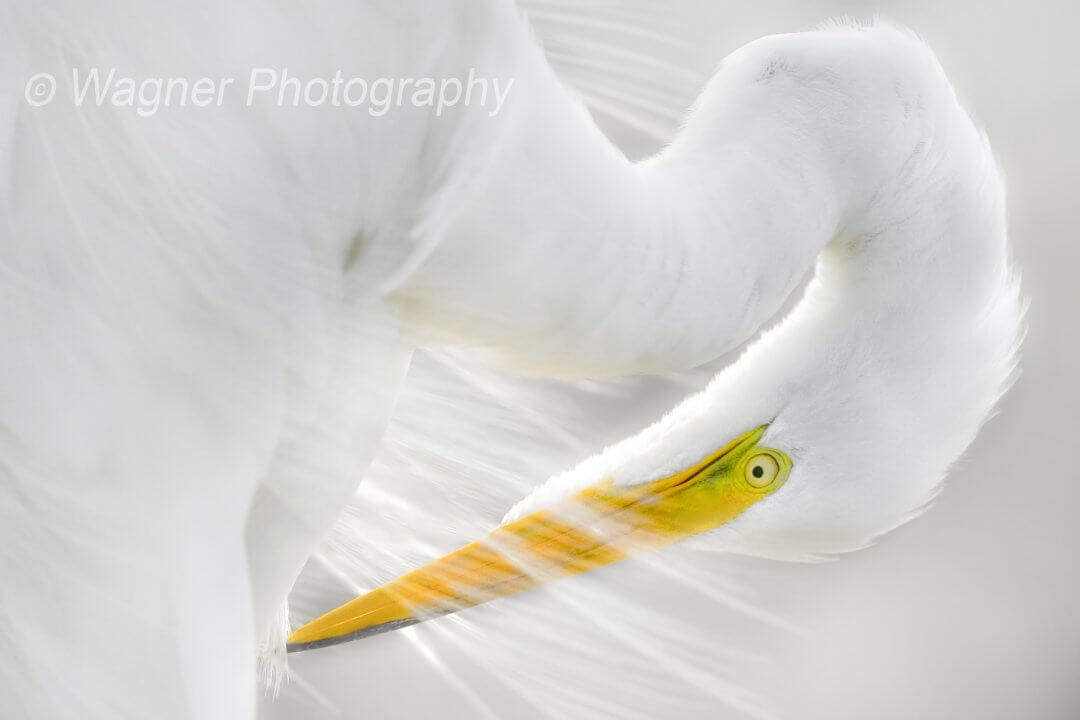 Great White Heron II